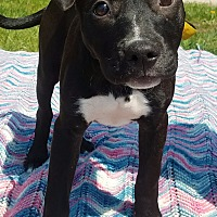 Adopt A Pet :: Brooke - Detroit, MI