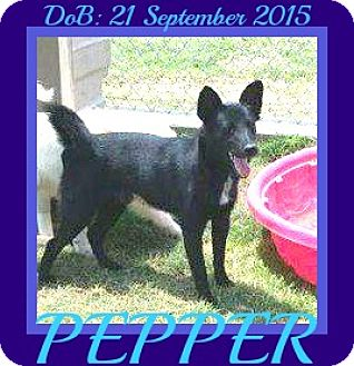 Schipperke/Collie Mix Dog for adoption in Jersey City, New Jersey - PEPPER