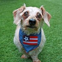 Adopt A Pet :: Piggy/Ziggy - New York, NY