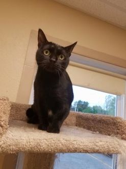 Domestic Shorthair/Domestic Shorthair Mix Cat for adoption in Waupun, Wisconsin - Cicero