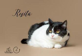 Domestic Shorthair/Domestic Shorthair Mix Cat for adoption in Bend, Oregon - Rosita
