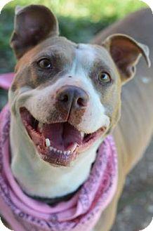 American Pit Bull Terrier Mix Dog for adoption in Philadelphia, Pennsylvania - Mamma Bear