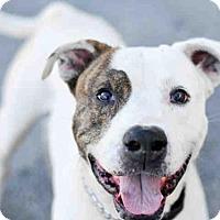 Adopt A Pet :: TANK II - Tavares, FL
