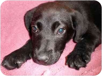 Labrador Retriever/Weimaraner Mix Puppy for adoption in Mobile, Alabama - Swizzle