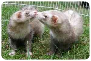 Ferret for adoption in Columbia, Maryland - Snickers & Slinky