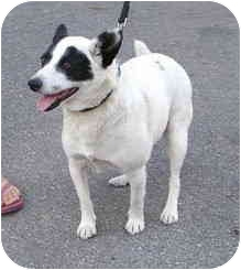 Jack Russell Terrier Mix Dog for adoption in Thomasville, North Carolina - Rachel