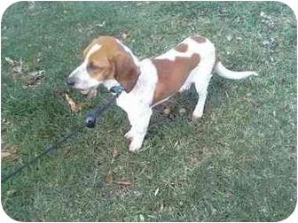 Basset Hound/Beagle Mix Dog for adoption in Bel Air, Maryland - Buddy