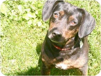 Beagle/Dachshund Mix Dog for adoption in New Fairfield, Connecticut - Abby