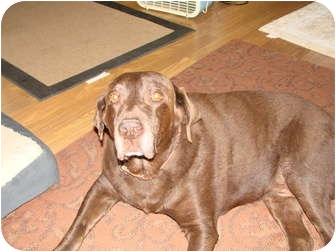 Labrador Retriever Dog for adoption in Chandler, Arizona - Moose