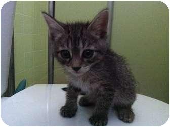 Domestic Shorthair Kitten for adoption in Studio City, California - Ralph