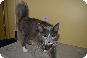 Domestic Mediumhair Cat for adoption in Greensboro, North Carolina - Cindy