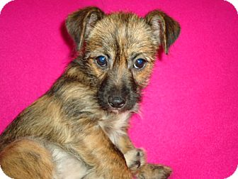 Terrier (Unknown Type, Small)/Chihuahua Mix Puppy for adoption in P, Maine - Tabby
