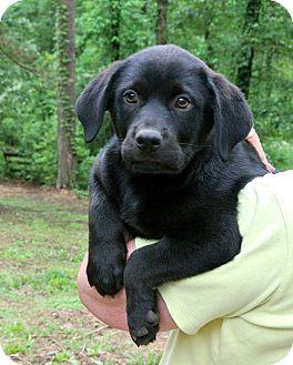 Rottweiler/Labrador Retriever Mix Puppy for adoption in Groton, Massachusetts - Raven