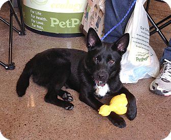 Border Collie/Rat Terrier Mix Puppy for adoption in Buffalo, New York - Junior: 6 months