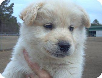 Border Collie Mix Puppy for adoption in Kimberton, Pennsylvania - Rollo