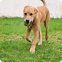 Adopt A Pet :: Scout - Hamilton, ON