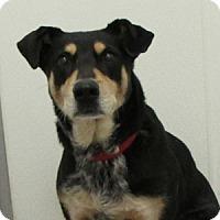 Adopt A Pet :: Alice - Gilbert, AZ
