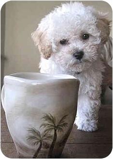 Bichon Frise Mix Puppy for adoption in Vista, California - Simone