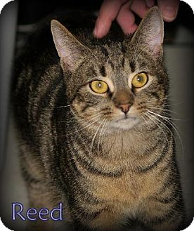 Manx Cat for adoption in Lewisburg, West Virginia - Reed