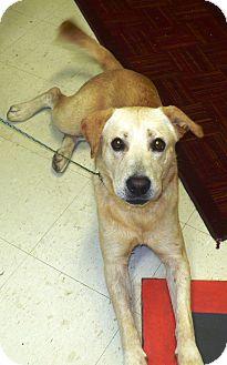 Labrador Retriever Mix Dog for adoption in Eastpoint, Florida - Roscoe