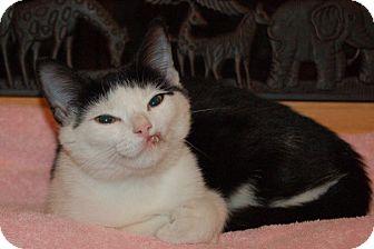 Domestic Shorthair Cat for adoption in Fairfax, Virginia - Chickadee