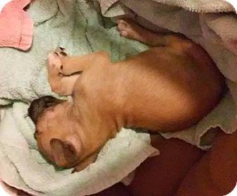 Boxer Mix Puppy for adoption in Savannah, Georgia - Nadia