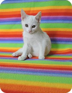 Domestic Shorthair Kitten for adoption in China, Michigan - Mella