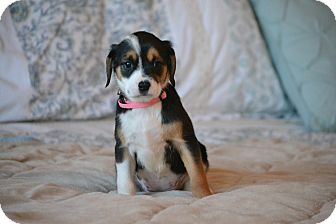 Shih Tzu/Beagle Mix Puppy for adoption in Bedminster, New Jersey - Roseanna
