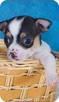 Chihuahua Puppy for adoption in Hockessin, Delaware - Levi