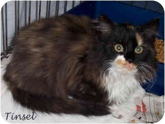 Maine Coon Kitten for adoption in Culpeper, Virginia - Tinsel