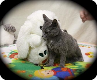 Russian Blue Kitten for adoption in Sparta, Illinois - Sweetie Pie