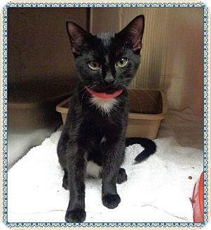 Domestic Shorthair Kitten for adoption in Marietta, Georgia - IRIS