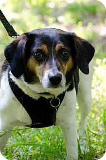 Beagle Mix Dog for adoption in Chesterfield, Virginia - Buddy