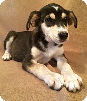 Husky/Labrador Retriever Mix Puppy for adoption in Kittery, Maine - Sasha
