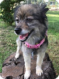 Pomeranian Dog for adoption in Norman, Oklahoma - Brandy