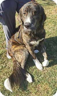 Australian Shepherd Mix Dog for adoption in Savannah, Georgia - Diesel