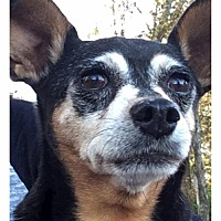 Adopt A Pet :: Cinderella - Christiana, TN