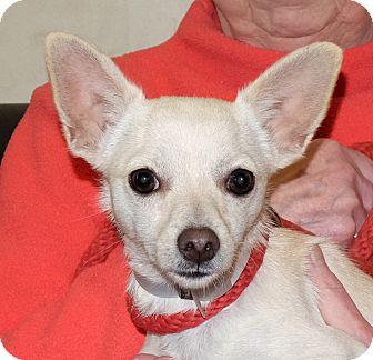 Chihuahua Mix Dog for adoption in Spokane, Washington - Elliot