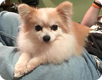 Pomeranian Dog for adoption in Sterling Heights, Michigan - Kera