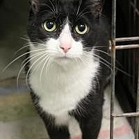 Domestic Shorthair Cat for adoption in Yukon, Oklahoma - Teeny