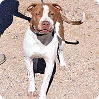 Adopt A Pet :: Thunder - Sierra Vista, AZ