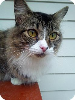 Maine Coon Cat for adoption in Norwalk, Connecticut - Aimee Lap Kitty