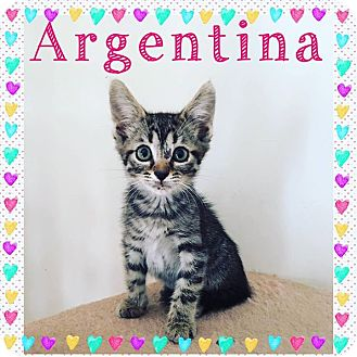 Domestic Shorthair Kitten for adoption in St Clair Shores, Michigan - Argentina