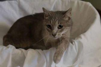 Domestic Shorthair/Domestic Shorthair Mix Cat for adoption in Davenport, Iowa - Twiggy