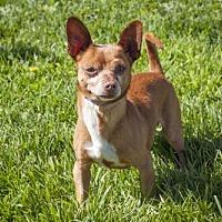 Adopt A Pet :: Buttercup - 20812 - Petaluma, CA
