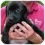Photo 1 - Labrador Retriever/Golden Retriever Mix Puppy for adoption in Cumming, Georgia - Sully