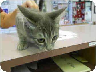 Domestic Shorthair Kitten for adoption in San Clemente, California - LUNA