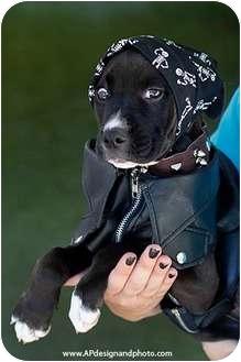 Labrador Retriever/American Pit Bull Terrier Mix Puppy for adoption in Mission Viejo, California - Hendrix