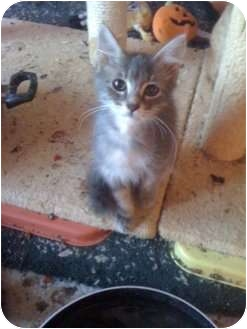 Domestic Longhair Kitten for adoption in Mobile, Alabama - Yoyo