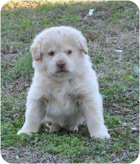 Newfoundland/Border Collie Mix Puppy for adoption in Stafford Springs, Connecticut - Kennedy